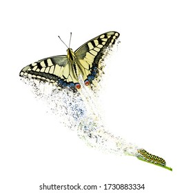 Butterfly metamorphosis (life cycle) of the Swallowtail (Papilio machaon).