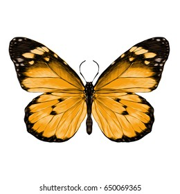 butterfly with open wings top view, the symmetrical drawing, graphics, sketch, color image, yellow wings with black pattern on the edges