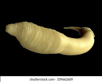 Caenorhabditis elegans worm