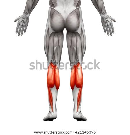 Calf Muscle Male Gastrocnemius Plantar Anatomy Stock Illustration ...