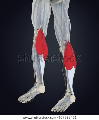 Royalty Free Stock Illustration of Calf Muscles Human Anatomy ...