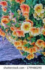 Flores calibrachoa, también conocidas como petunia railadora y millones de campanas