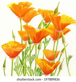 California Poppies Square Design.  Watercolor painting of yellow California poppies wildflowers with a white background in a square format
