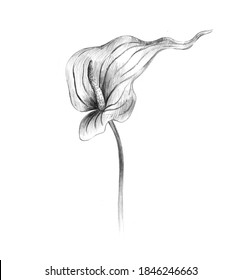 Calla flower isolated on white background. Pencil sketch.