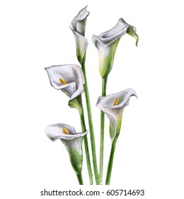 Calla Lily Flowers on a white background