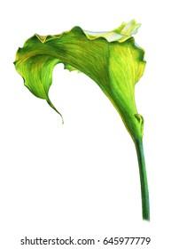 Calla lily green flower (Zantedeschia)