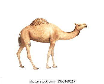 camel stands on white background 3d render no shadow