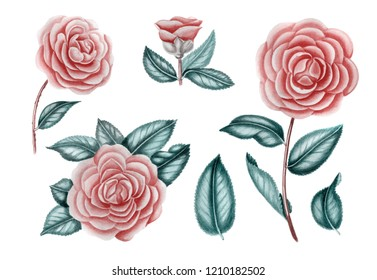 Camelia flowers set. Branches with leaves. Hand drawn botanical illustrations. Can be used for wedding design, wallpaper, textile, postcards and other. Isolated on white background.