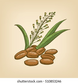 Camelina sativa or gold-of-pleasure, or false flax, flowering oil plant. illustration. Hand drawn illustration.