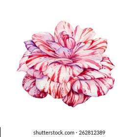 camellia flower. a very detailed realistic illustration of an exotic flower. chrysanthemum with striped petals.