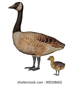 Canada goose, branta canadensis, mother and baby isolated in white background - 3D render