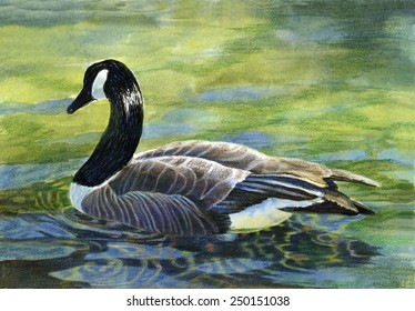 Canada Goose. Watercolor, colored pencil, ink painting, drawing, illustration, of a large Canada goose swimming in a pond with colorful reflections.