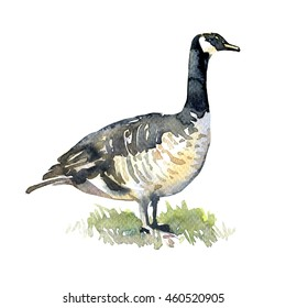 Canadian Goose on green grass isolated, watercolor illustration