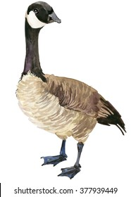 Canadian goose watercolor illustration.