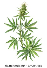 Cannabis (also known as hemp or marijuana) female plant pencil illustration isolated on white