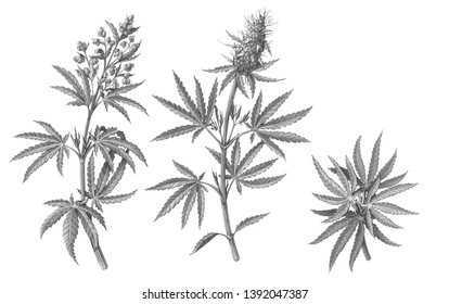 Cannabis (also known as hemp or marijuana) male and female plants pencil illustration isolated on white