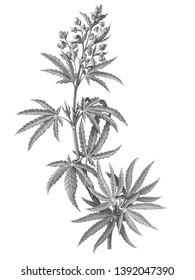 Cannabis (also known as hemp or marijuana) male plant pencil illustration isolated on white