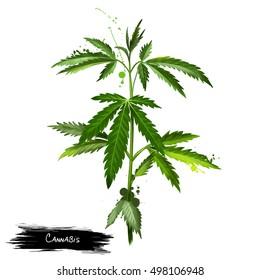 Cannabis isolated on white. Marijuana leaf. Medical marijuana. Cannabis has long been used for hemp fibre, for hemp oils, for medicinal purposes, and as a recreational drug.