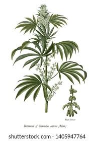 Cannabis sativa male tree botanical vintage engraving illustration clip art isolated on white background
