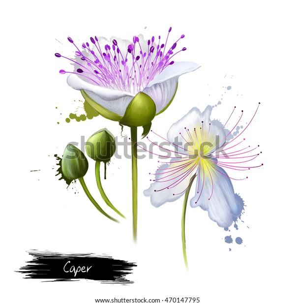 Flinders Rose Capparis spinosa 50/_Seeds Spineless Caper Bush