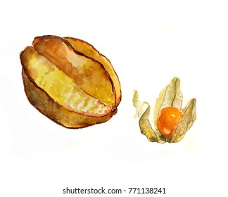 Carambola and winter cherry on white background, watercolor sketch