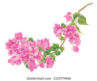 Card template with watercolor Pink bougainvillea.Hand drawn painting on white background.. Illustration for greeting cards, invitations, and other printing projects. Clipping path included.