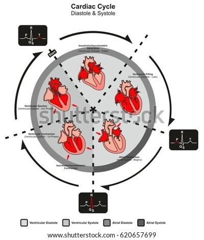 Cardiac Cycle Diastole Systole Human Heart Stock Illustration ...