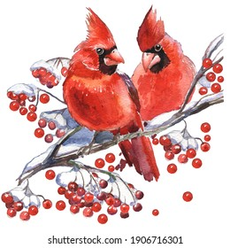 Cardinal birds - a symbol of Christmas. Set of elements for design Isolated on white background. Realistic sketch drawing. Watercolor illustration.