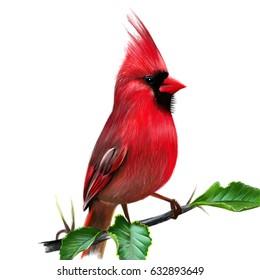 Cardinalis cardinalis. Illustration of a red cardinal or cardinal virgin. In seven States elected official symbol