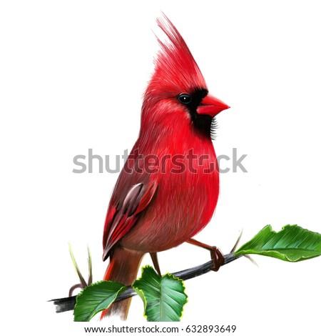 Cardinalis Cardinalis Illustration Red Cardinal Cardinal Stock