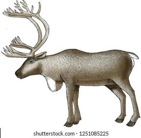 Caribou color illustration