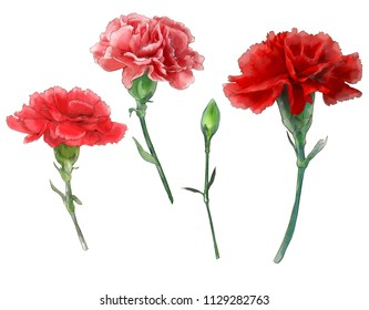 Carnation  Clove pink Watercolor Clipping Path