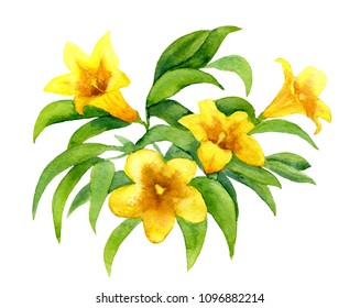Carolina jasmine or yellow jessamine hand-drawn with watercolor, isolated on white
