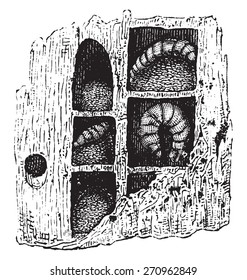 Carpenter-bee nest, vintage engraved illustration. Natural History of Animals, 1880.