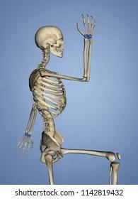 Carpus, Human Skeleton, 3D Model