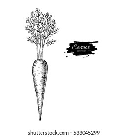 Carrot hand drawn illustration. Isolated Vegetable engraved style object. Detailed vegetarian food drawing. Farm market product. Great for menu, label, icon