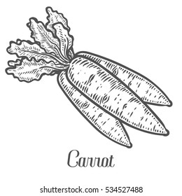 Carrot . Isolated on white background. Carrot food ingredient. Engraved hand drawn illustration in retro vintage style. Organic Food, sauce, dishes component