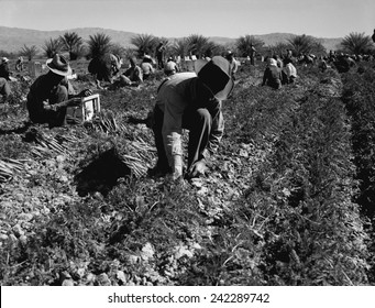 Carrot pullers harvesting in Coachella Valley, California, were migrant workers from Texas, Oklahoma, Missouri, Arkansas and Mexico. Photo by Dorothea Lange Feb 1937.