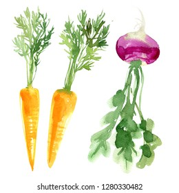 Carrots with greens, turnips painted with watercolor on a white background. A colored sketch of vegetables. Farm products.