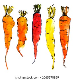 Carrots. Organic vegetables painted with watercolor and ink on a white background