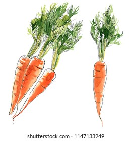 Carrots with a tops painted with watercolor on a white background. A colored sketch of vegetables with mascara and paint. Farm products.