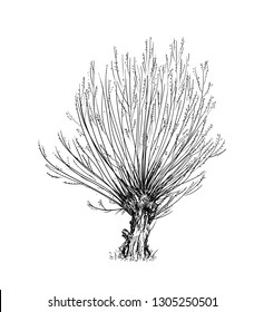 Cartoon doodle drawing illustration of broadleaved or deciduous willow or sallow at spring. Tree trimmed for basketry or wicker.