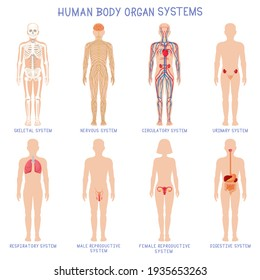Cartoon human body organs systems. Anatomical biology systems, skeleton, nervous and reproductive system. Human biology organ scheme  illustration set