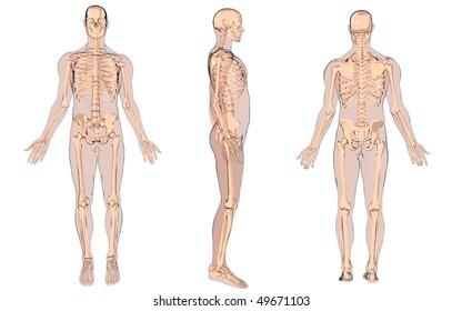 cartoon skeleton anatomy