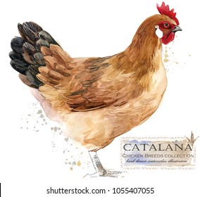 Catalana hen. Poultry farming. Chicken breeds series. domestic farm bird watercolor illustration