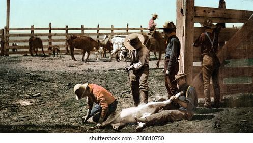 Cattle round up, branding calves, Colorado, photochrom, 1898