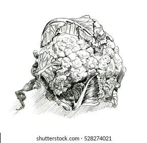 Cauliflower hand drawn illustration. Isolated Cauliflower. Detailed vegetarian food drawing.