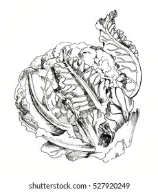 Cauliflower hand drawn ink sketch. Isolated. Vegetable engraved style illustration.