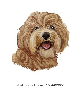 Cavapoo digital art illustration of cute canine animal of beige color. Cavoodle or crossbreed dog, offspring of Poodle and Cavalier King Charles Spaniel. Red Toy Cavoodle Puppy hand drawn portrait