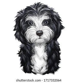 Cavoodle or crossbreed dog, offspring of Poodle and Cavalier King Charles Spaniel. Red Toy Cavoodle Puppy hand drawn portrait. Cavapoo digital art illustration of cute canine animal of black and white